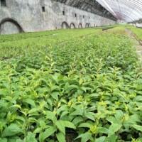软枣苗价格-供应辽宁易成活的软枣树苗