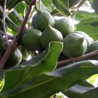 广东哪里有夏威夷果苗批发-澳洲坚果苗在哪买