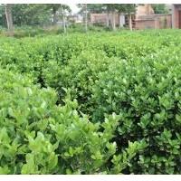 山东大叶黄杨批发-来御景花卉-买优惠的大叶黄杨