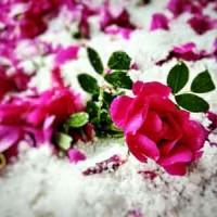 甘肃苦水玫瑰|优良的苦水玫瑰在哪买