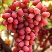 广西克伦生葡萄苗-在哪能买到高质量的克伦生葡萄苗
