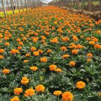 青州草花租摆多少钱-想找好的草花租摆,就来得胜花卉