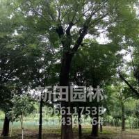 大型国槐树出售-供应山东实惠的大型国槐