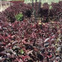 西北紫叶矮樱-甘肃哪里有出售西北紫叶矮樱